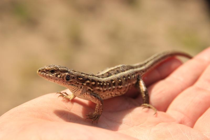 A little brown lizard sits on the palms. Close-up. A little brown lizard sits on the palms. Cute. Close-up stock image