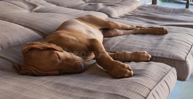 Portrait of an adorable little brown puppy vizsla and its foot sleeping comfortably and relaxed over a grey brown couch. A little brown puppy Hungarian or Magyar royalty free stock images
