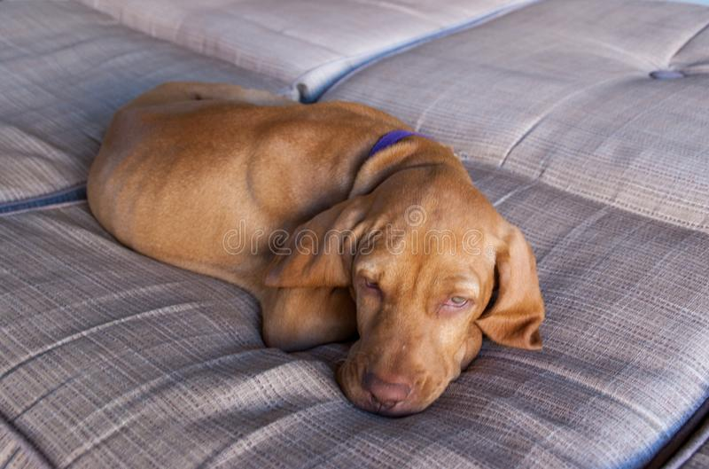 Portrait of an adorable little brown puppy vizsla and its foot sleeping comfortably and relaxed over a grey brown couch. A little brown puppy Hungarian or Magyar stock images