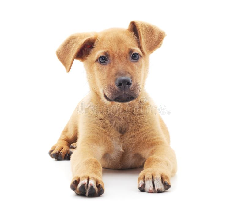 Little brown puppy. On a white background stock images