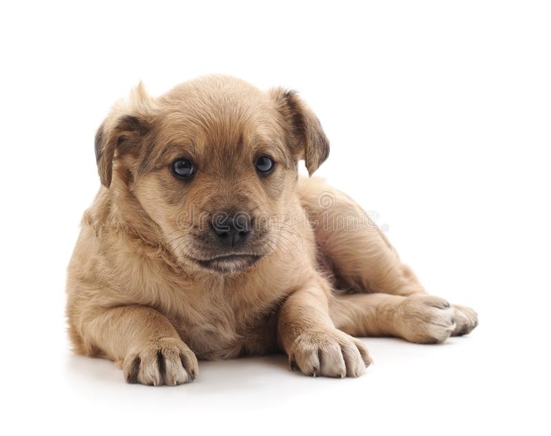 Little brown puppy. Little brown puppy on a white background royalty free stock image