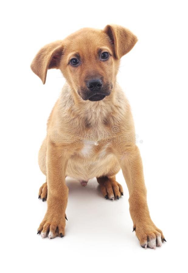 Little brown puppy. Little brown puppy on a white background stock images