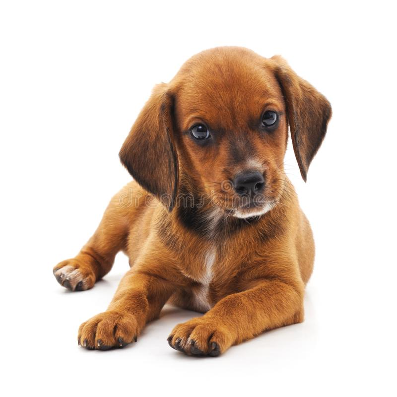 Little brown puppy. On a white background royalty free stock image