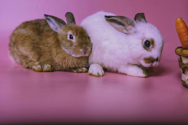A little brown rabbit is going to sleep. Beside, there is a little white rabbit being cleaned on the body on a pink background stock photos