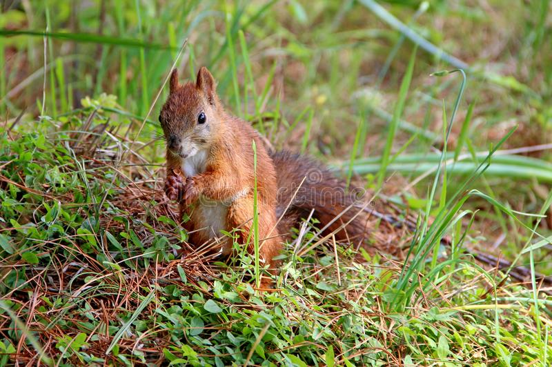Little brown squirrel hold opened nutshell royalty free stock photo