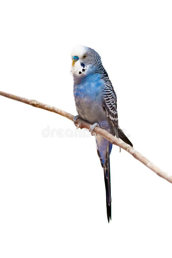 Little budgie parrot royalty free stock photography