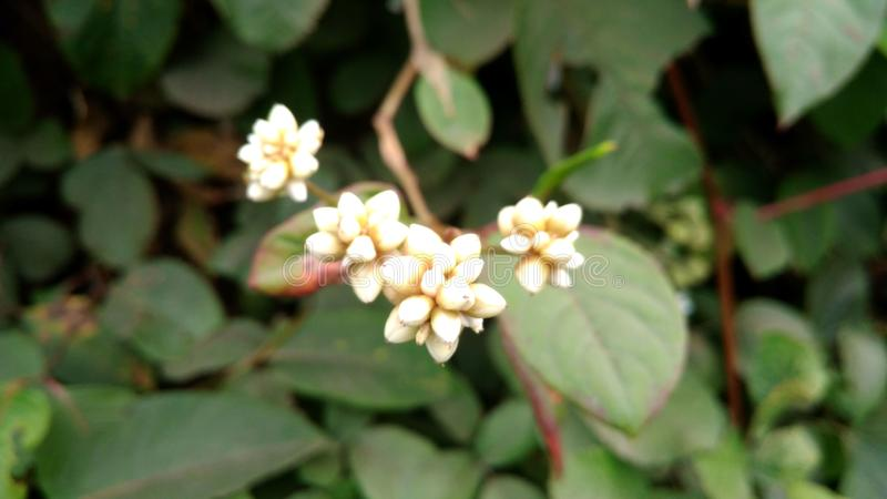 Little buds white. Luttle little buds whi whit white gold weeds stock photography