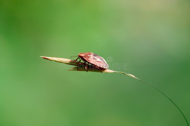Little bug skunk on thin grass. Macro photo stock photos