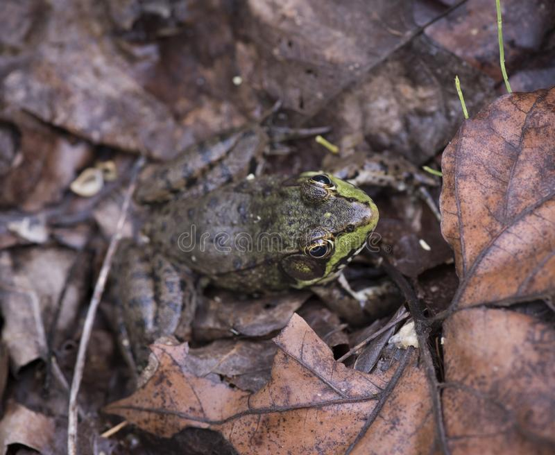 Young Bullfrog Hiding in the Leaves stock image