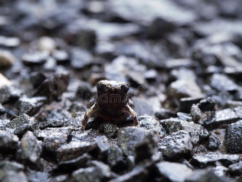 Little Bullfrog Sitting on The Stone Ground royalty free stock photos