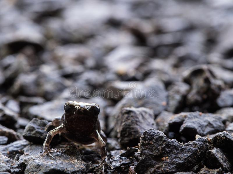 Little Bullfrog Sitting on The Stone Ground royalty free stock image