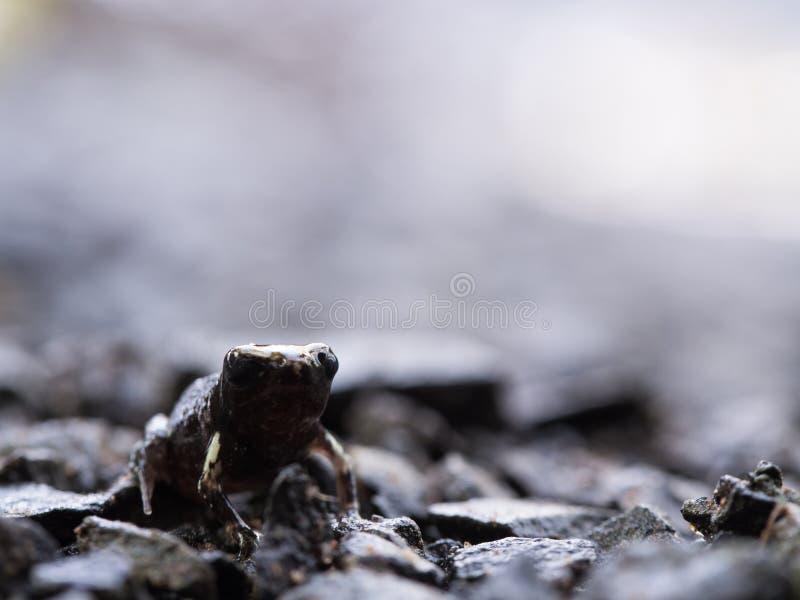 Little Bullfrog Sitting on The Stone Ground stock photo