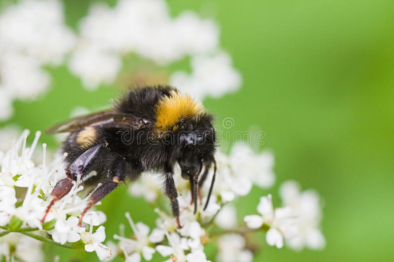 Little Bumble bee busy gathering nectar in summer stock images