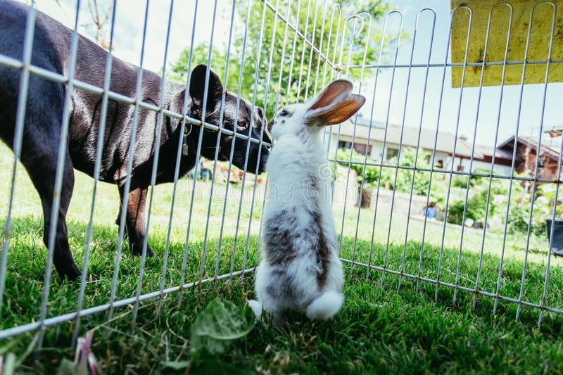 Cute little bunny and dog are watching each other. Little bunny in compound and dog outside are sniffing each other. Spring time curious animal pet critter royalty free stock photography
