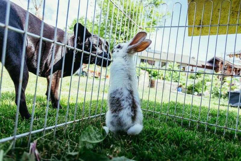 Cute little bunny and dog are watching each other. Little bunny in compound and dog outside are sniffing each other. Spring time curious animal pet critter stock photo