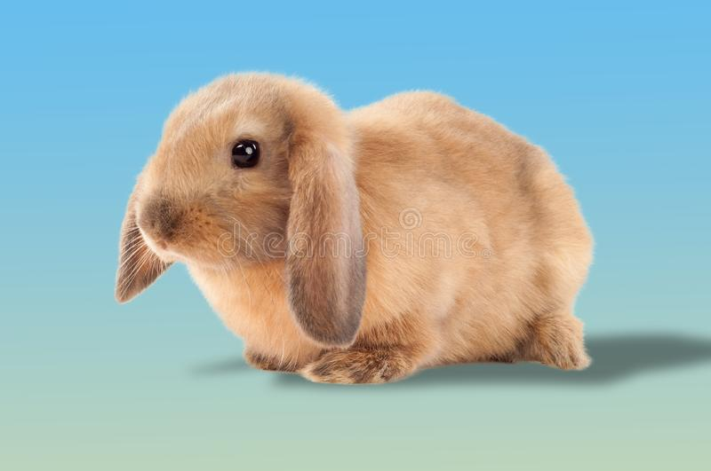 Little bunny isolated on white background. Little rabbit.  royalty free stock image