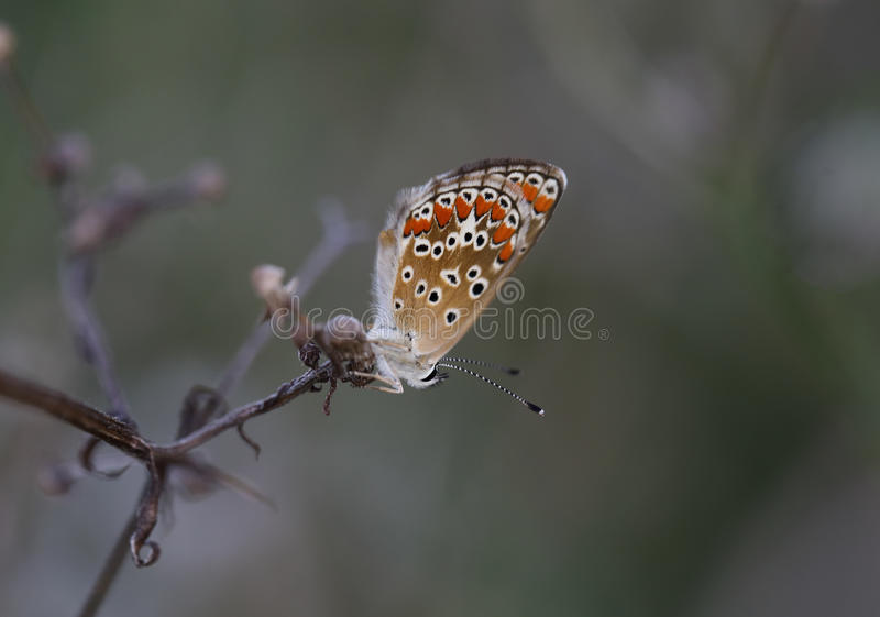 Little butterfly on the dry branch of chamomile. stock photos