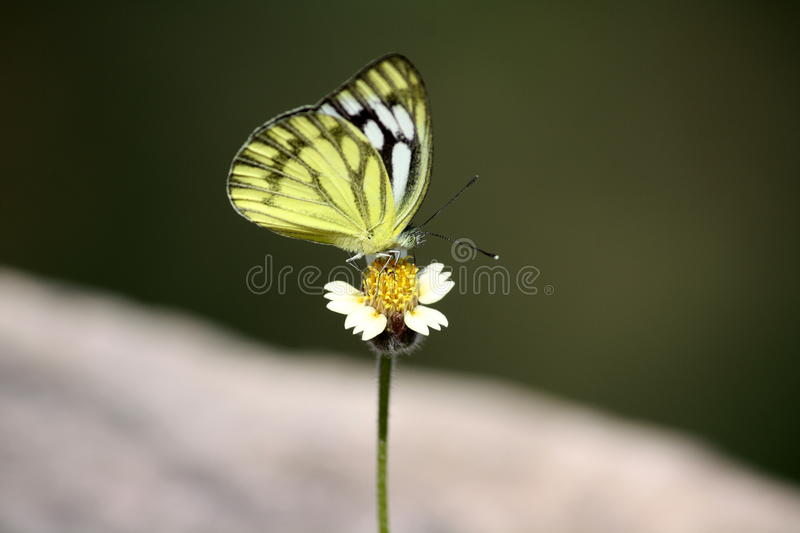 Little Butterfly. Pale yellow and black monarch butterfly sucking nector stock images