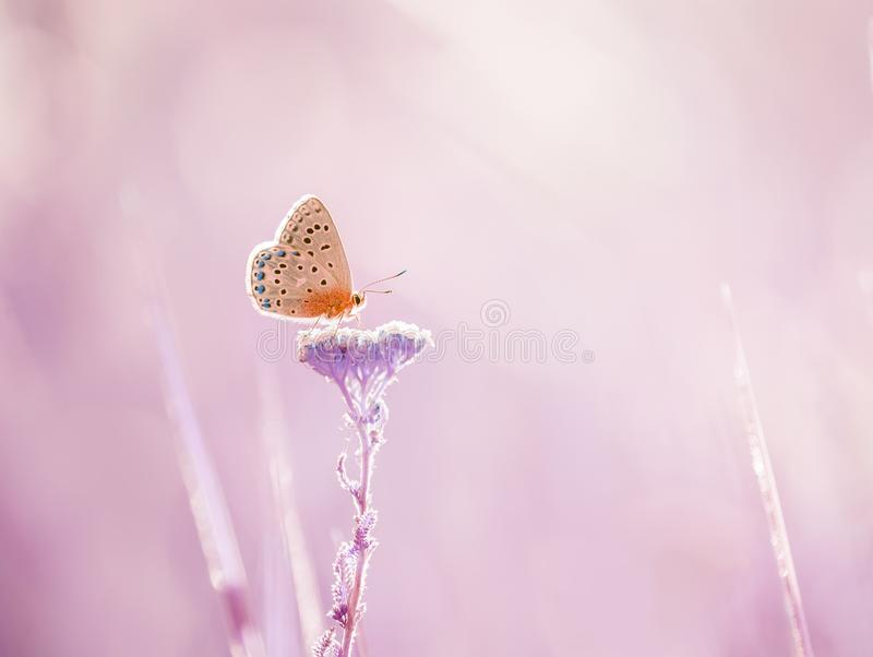 Little  butterfly on a yarrow flower in a meadow. Artistic tender photo. royalty free stock images