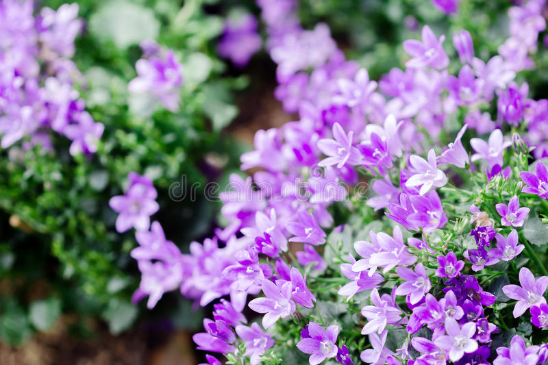 Little Campanula flower stock images