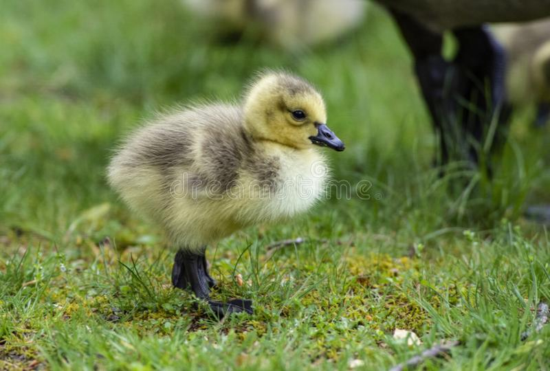 Little Canada Goose chick under mom`s shadow. stock photos