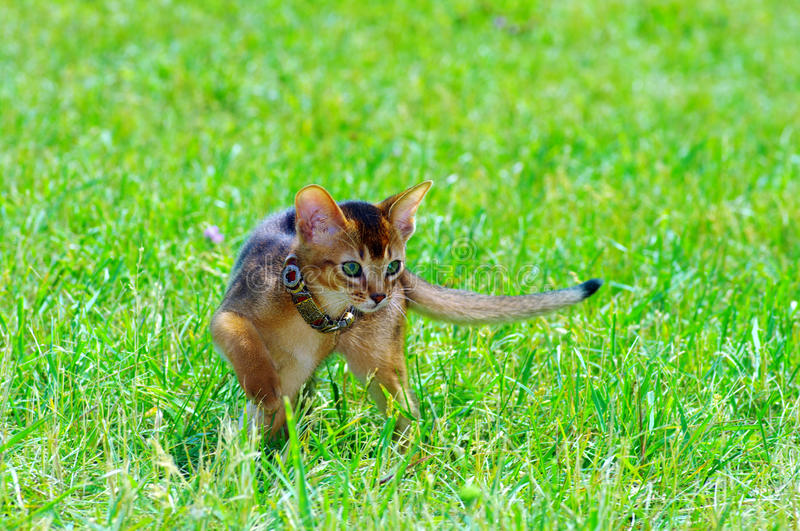 Little cat. Of abyssinian over green grass background royalty free stock photography