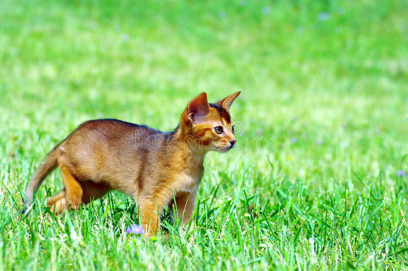 Little cat. Of Abyssinian over green grass background stock image