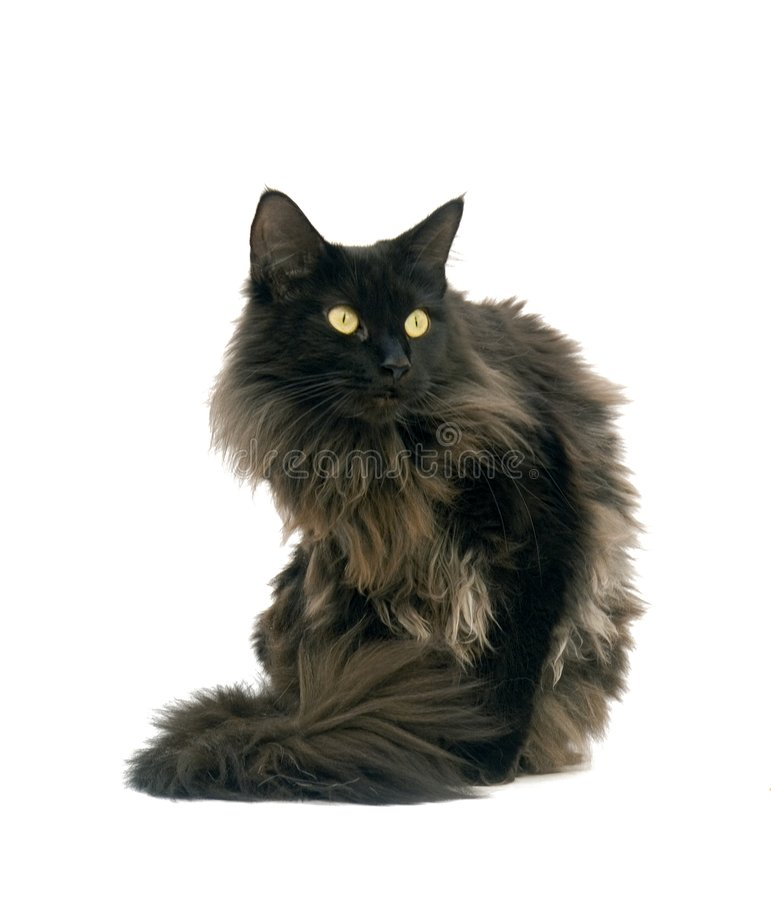 Little cat. Black maine coon cat with white background stock images
