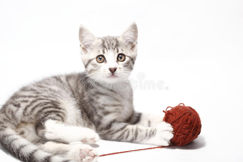 Little cat. Little grey cat is playing with white background stock photo
