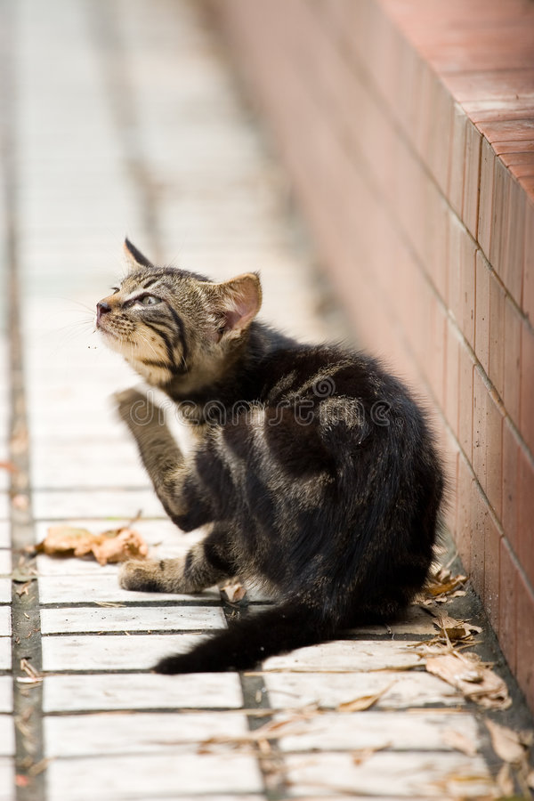 Little cat. Picture of little cat scratching the pruritus stock images