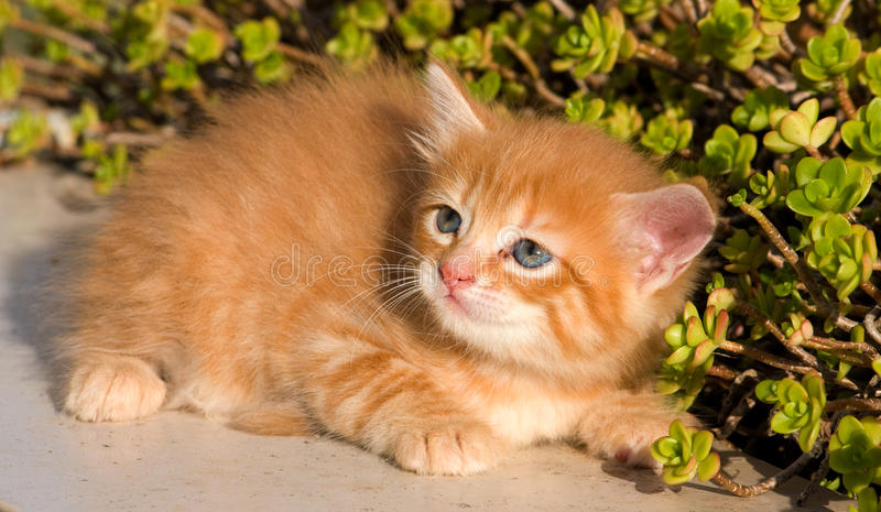 Little cat. Photo of european red little cat in the garden royalty free stock images