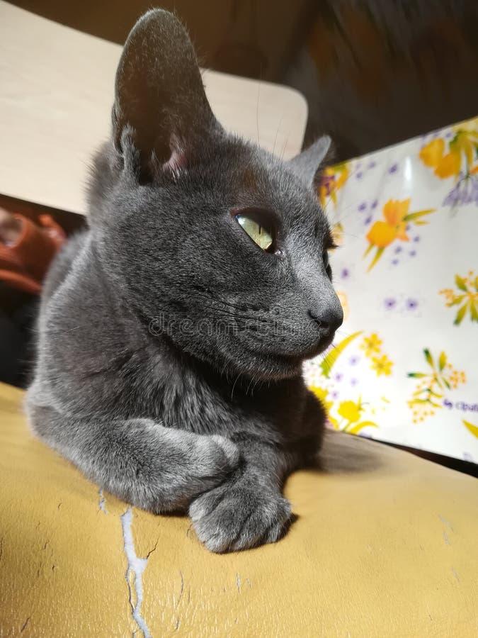 Little Cat Black Beautiful. Pequeño gato gris-negro posado sobre una silla rustica de cocina. belleza felina royalty free stock image