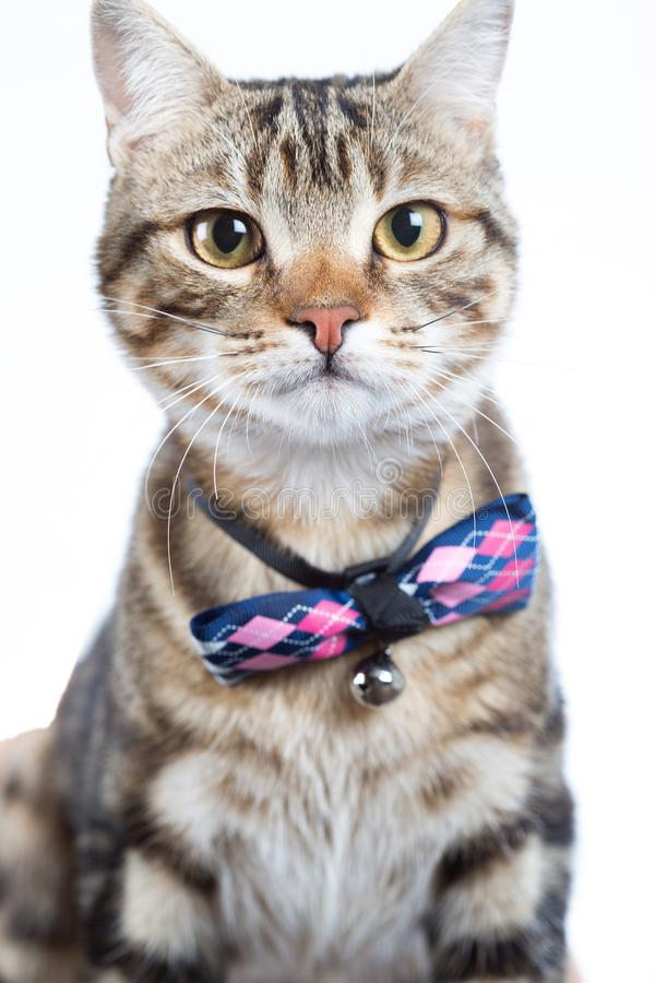 Little cat with bow tie. Little cat posing with bow tie on white background royalty free stock photos