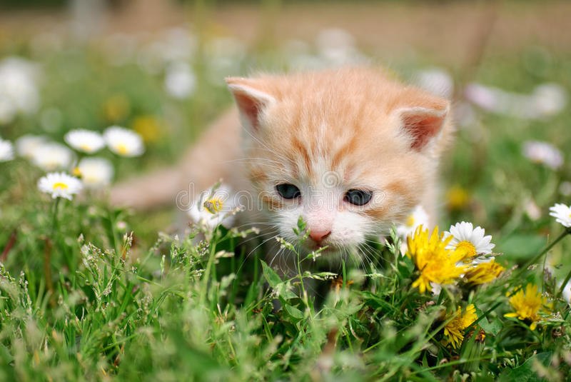 Little cat between flowers. A little red cat between flowers on the field royalty free stock image