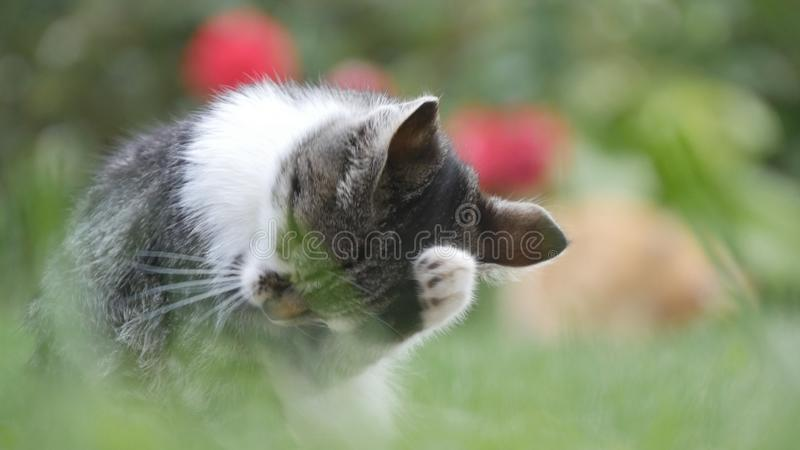 Little Cat in the Garden Staying in the Grass and Cleaning Her Fur.  royalty free stock photography
