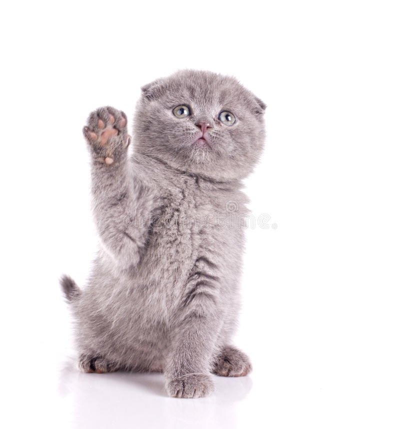 Download Little cat gray british stock photo. Image of playful - 24340236