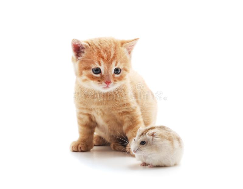 Little cat and hamster stock photography