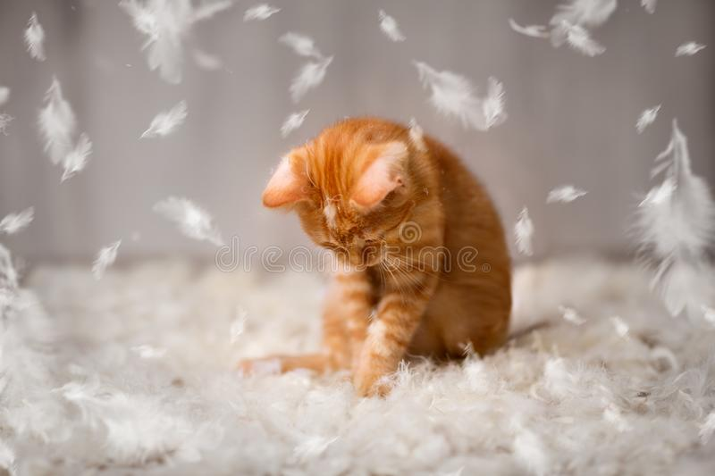 Little cat have fun with feathers royalty free stock images