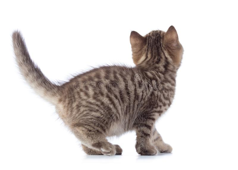 Little cat kitten from the back isolated over white. Background stock photography