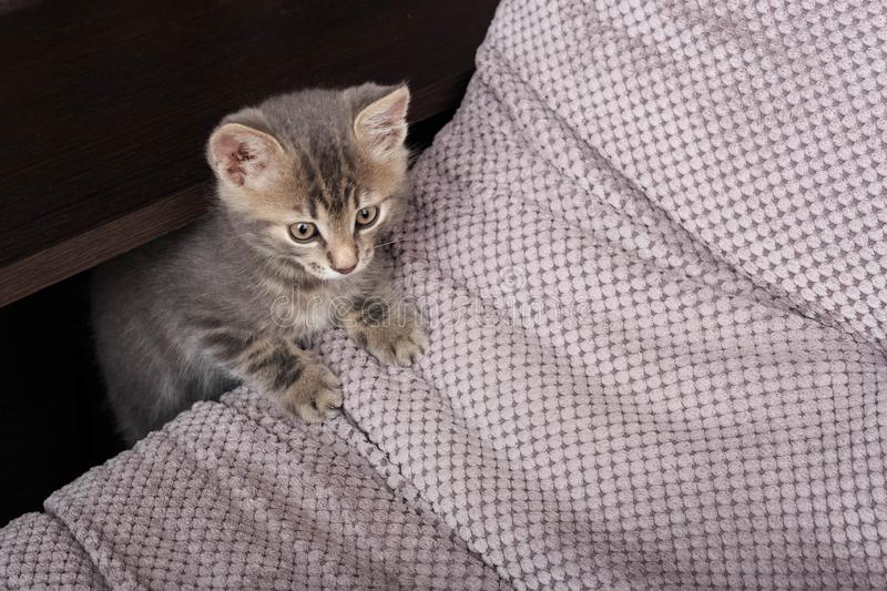 Little cat playing on the sofs. Little cute fluffy cat. Little cat playing on the sofa. Little cute fluffy cat stock photography