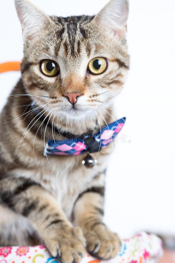Little cat with bow tie. Little cat posing with bow tie on white background royalty free stock image