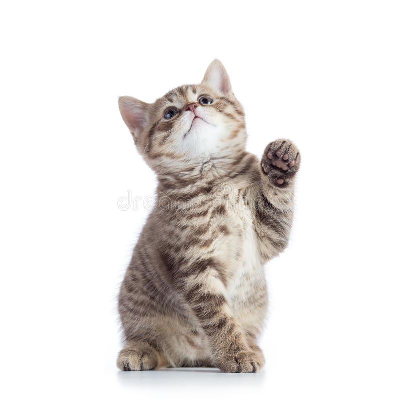 Little cat with raised paw. Isolated on white stock image