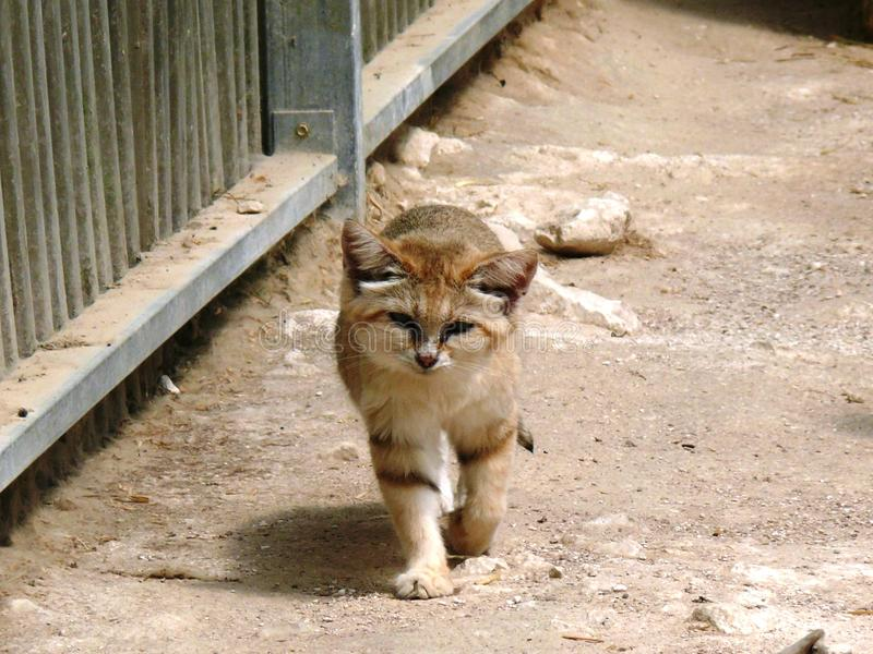Little cat of the sands. Walking on the sand stock photo