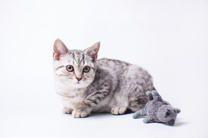 Little cat siting on the white floor. With his toy mouse stock image