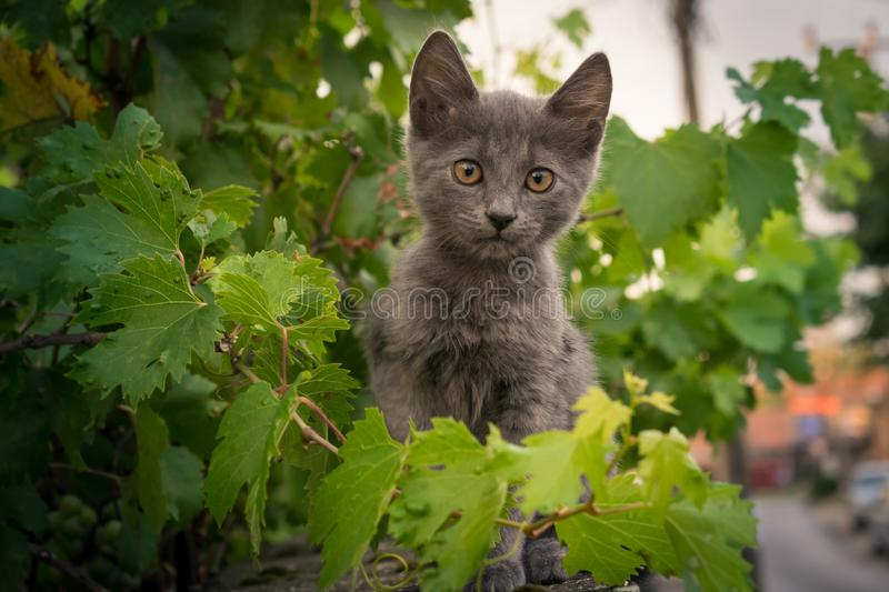 The little cat. Sits on a fence in a grape stock photography