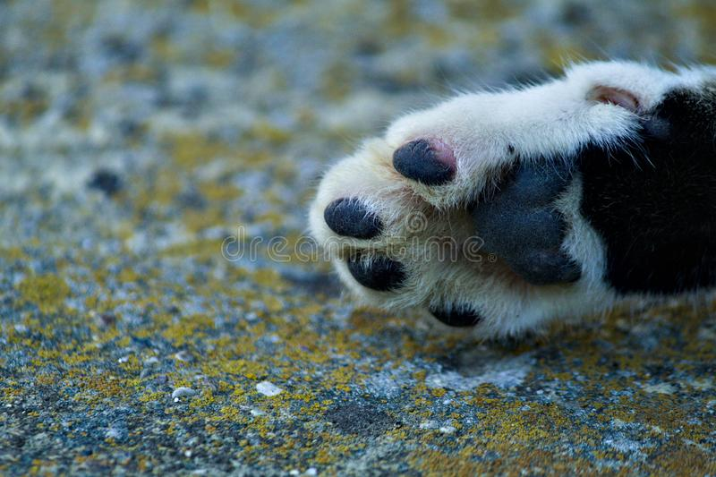 Little cats black and white paw. royalty free stock photo