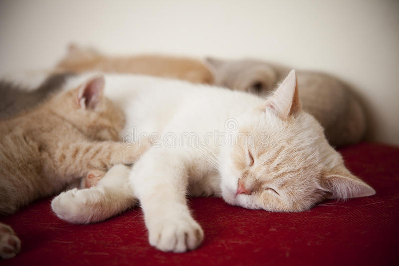 Little cats with mother royalty free stock photography