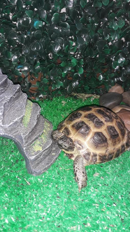 Little central-Asian land turtle in the terrarium royalty free stock photo