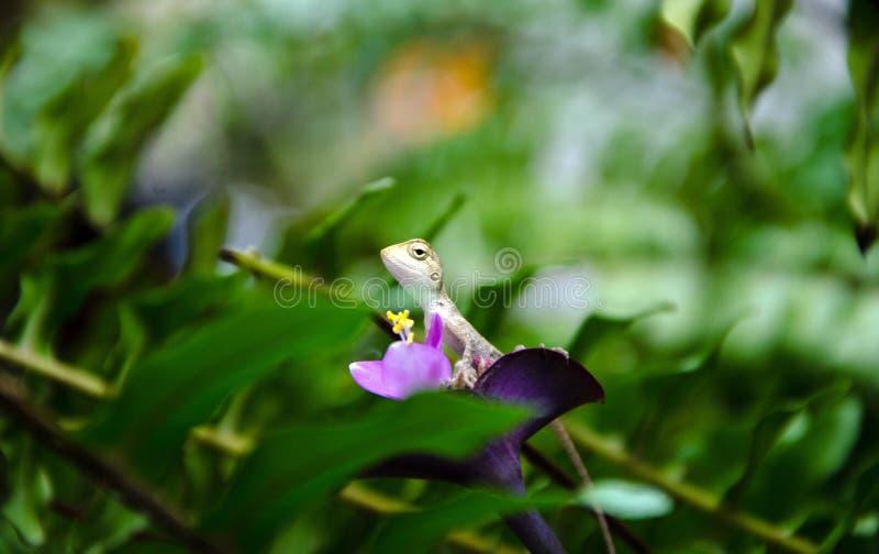 Little Chameleon royalty free stock image