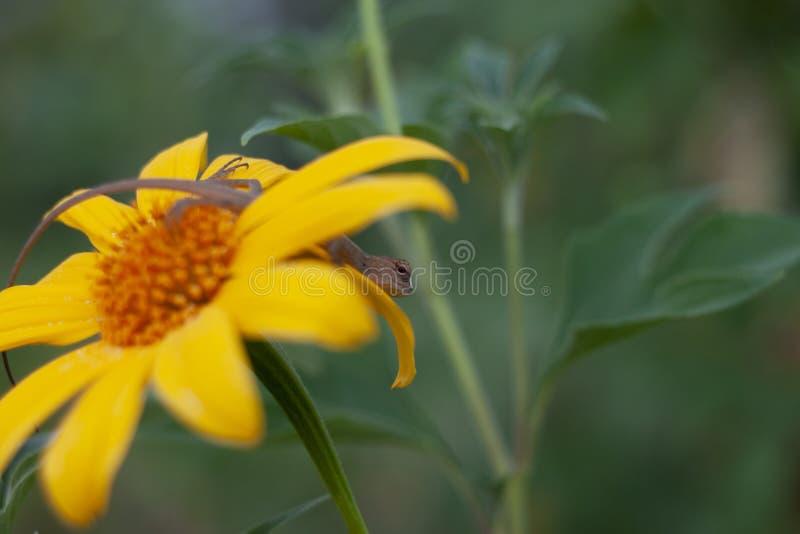 Little chameleon on yellow flower. royalty free stock images